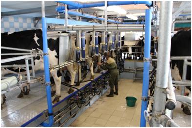 Exploitation agricole d'Yvetot - Traite des vaches